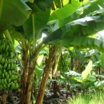 Vegetable Garden Banana plants Tansania